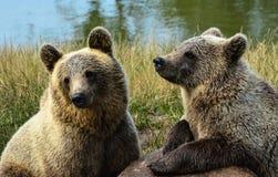 Bruine twee dragen Welpen Royalty-vrije Stock Afbeeldingen