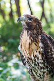 Bruine Valk (Falco berigora) stock afbeeldingen