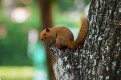 Bruine veranderlijk-eekhoornzitting Stock Afbeeldingen