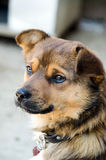 Bruine verdwaalde hond Royalty-vrije Stock Foto