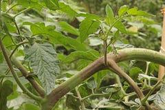 Bruine verrotting op Tomaten royalty-vrije stock afbeelding