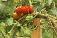 Bruine verrotting op Tomaten stock afbeelding