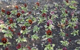 Bruine viooltjes Royalty-vrije Stock Afbeelding