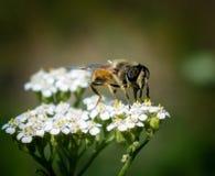 Bruine vlieg op bloem Stock Afbeelding
