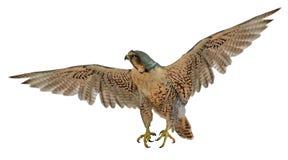 Bruine vliegende valk op wit royalty-vrije stock fotografie