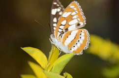 Bruine vlinder stock afbeeldingen