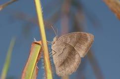 Bruine vlinder Royalty-vrije Stock Foto