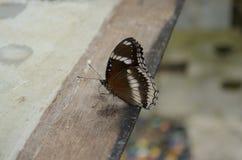 Bruine vlinder Stock Afbeelding