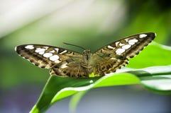 Bruine vlinder Royalty-vrije Stock Afbeeldingen