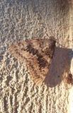 Bruine vlinder Stock Fotografie