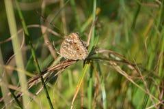 Bruine vlinder Stock Foto