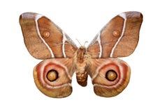 Bruine vlinder Royalty-vrije Stock Afbeelding