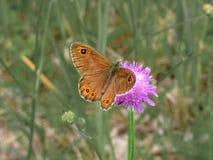 Bruine vlinder bij het drinken van nectar van gebiedsscabieuse stock afbeelding