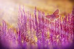 Bruine vlinder die over purpere bloemen vliegen Stock Afbeeldingen