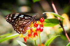 Bruine vlinder met bloem in de tuin Royalty-vrije Stock Foto's