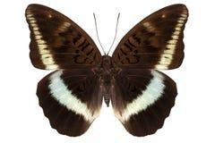 Bruine vlinder Nymphalidae Royalty-vrije Stock Afbeeldingen