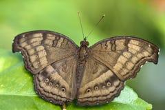 Bruine vlinder op blad Stock Afbeelding