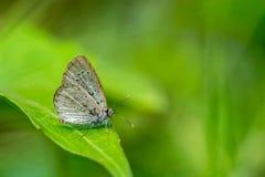 Bruine Vlinder op blad Stock Afbeeldingen