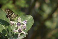 Bruine Vlinder op Calotropisi n de tuin royalty-vrije stock fotografie