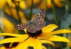 Bruine vlinder op gele bloem Royalty-vrije Stock Foto's