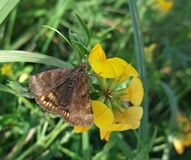 Bruine vlinder op gele bloem Stock Afbeelding