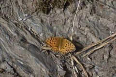 Bruine vlinder op land zonnige dag stock afbeelding
