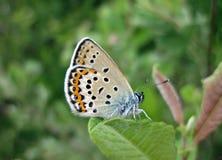 Bruine vlinder op mooie bloem, Litouwen royalty-vrije stock afbeeldingen