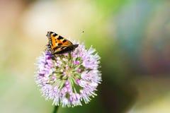 Bruine Vlinder op Purpere Bloem Stock Foto's