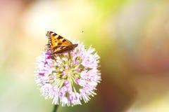Bruine Vlinder op Purpere Bloem Stock Afbeelding