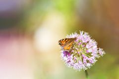 Bruine Vlinder op Purpere Bloem Stock Fotografie