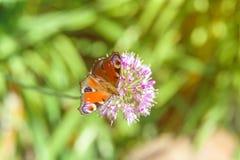 Bruine Vlinder op Purpere Bloem Royalty-vrije Stock Afbeelding
