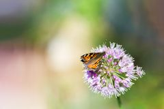Bruine Vlinder op Purpere Bloem Royalty-vrije Stock Fotografie