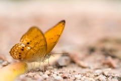 Bruine vlinder ter plaatse, macro dichte omhooggaand, met diepte van gebied, nadruk bij het oog, met exemplaarruimte Royalty-vrije Stock Foto