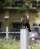 Bruine Vogel royalty-vrije stock afbeelding