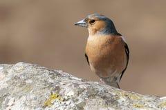 Bruine vogel op rots Royalty-vrije Stock Fotografie