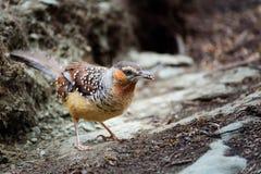 Bruine vogels die voedsel dragen, die ter plaatse lopen Royalty-vrije Stock Afbeeldingen