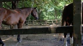 Bruine volbloed- paarden die in een paddock in openlucht weiden Zonnige zomer 4K 4K video stock video