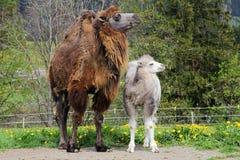 Bruine vrouwelijke Bactrische kameel met witte welp Stock Afbeelding