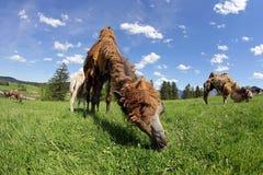 Bruine vrouwelijke Bactrische kameel met witte welp Stock Afbeeldingen