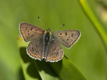 Bruine vuurvlinder, Sooty Copper, Lycaena tityrus. Bruine vuurvlinder / Sooty Copper (Lycaena tityrus stock photography