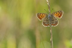 Bruine vuurvlinder, Sooty Copper, Lycaena tityrus. Bruine vuurvlinder / Sooty Copper (Lycaena tityrus royalty free stock photography