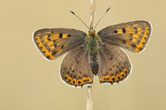 Bruine vuurvlinder, Sooty Copper, Lycaena tityrus. Bruine vuurvlinder / Sooty Copper (Lycaena tityrus royalty free stock photo