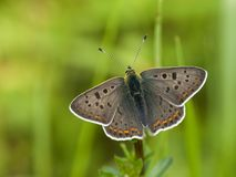 Bruine vuurvlinder, Sooty Copper, Lycaena tityrus. Bruine vuurvlinder / Sooty Copper (Lycaena tityrus royalty free stock image