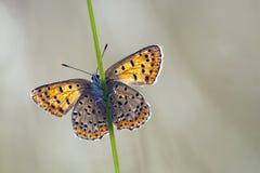 Bruine vuurvlinder, Sooty Copper, Lycaena tityrus. Bruine vuurvlinder / Sooty Copper (Lycaena tityrus stock photos