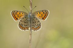 Bruine vuurvlinder, Sooty Copper, Lycaena tityrus. Bruine vuurvlinder / Sooty Copper (Lycaena tityrus royalty free stock photos
