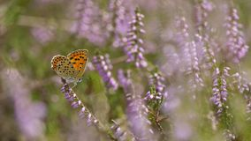 Bruine vuurvlinder, Sooty Copper, Lycaena tityrus. Bruine vuurvlinder / Sooty Copper (Lycaena tityrus royalty free stock images