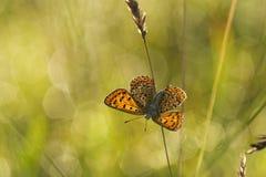 Bruine vuurvlinder, Sooty Copper, Lycaena tityrus. Bruine vuurvlinder / Sooty Copper (Lycaena tityrus stock photo