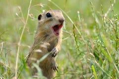 Bruine wilde hamster Stock Afbeelding