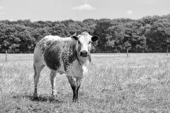 Bruine/witte bevlekte Cholistani-stier op een gebied met bosrand op de achtergrond royalty-vrije stock afbeeldingen