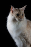 Bruine witte kat die een kant kijken Stock Foto's